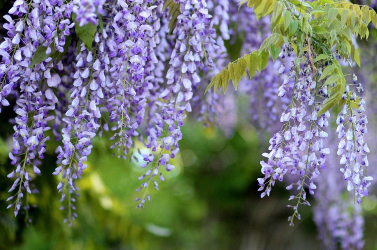 Image of wisteria.