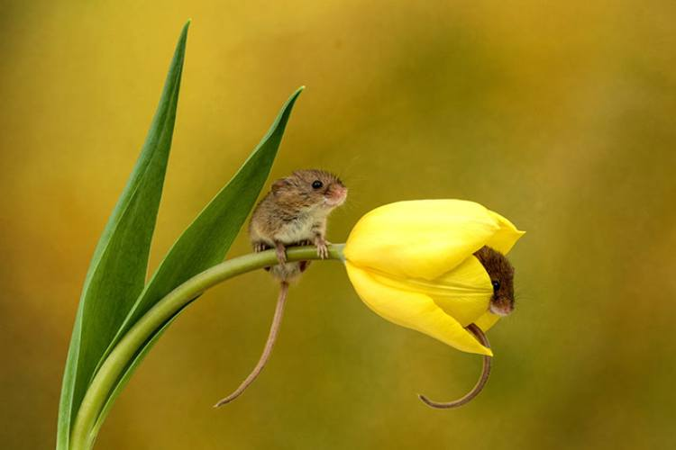 harvest mice in flower