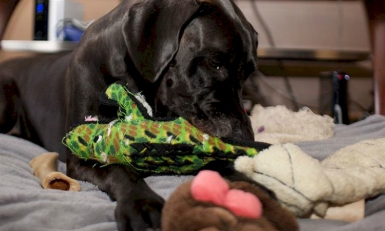 Dog plays with plush dog toy