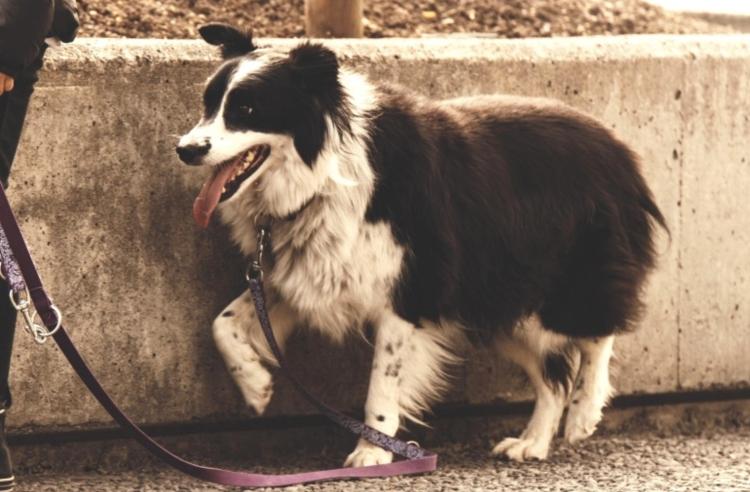 leashed dog on a walk