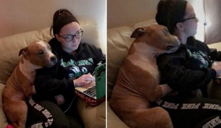 Split image of pit bull cuddling with owner.