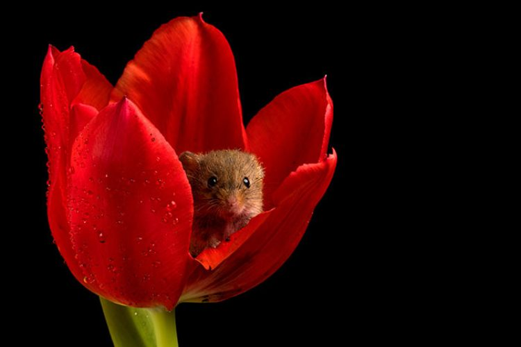 mouse in red flower