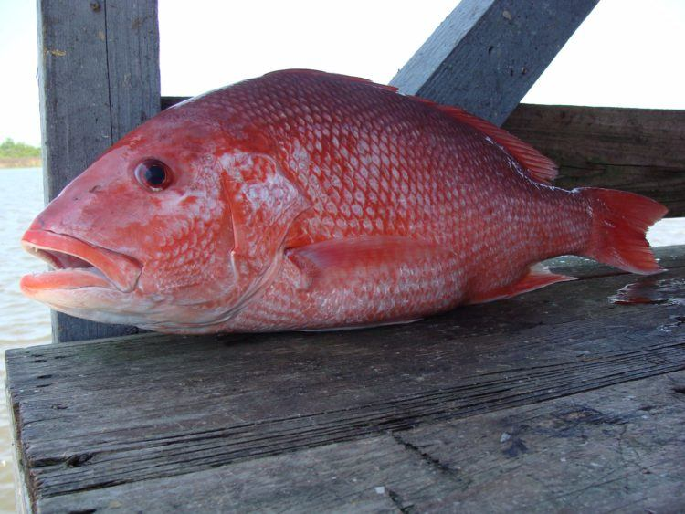 Actual red snapper.