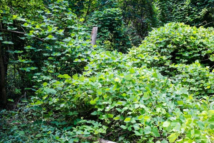 kudzu plants