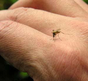 epsom_mosquito