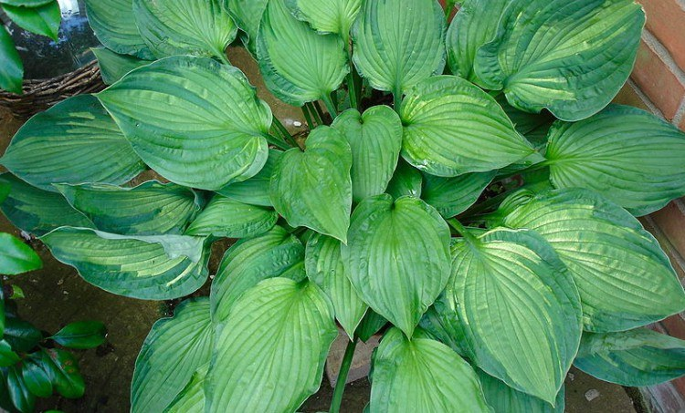 plants hosta