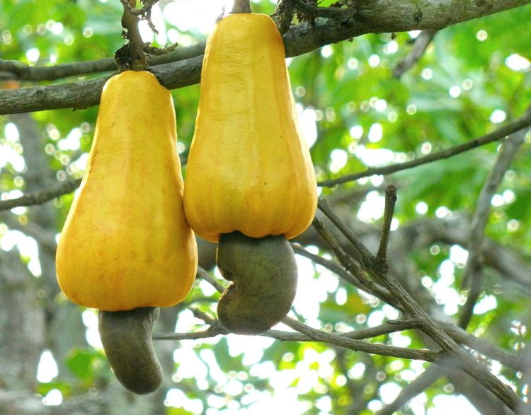 Cashew apples on tree.