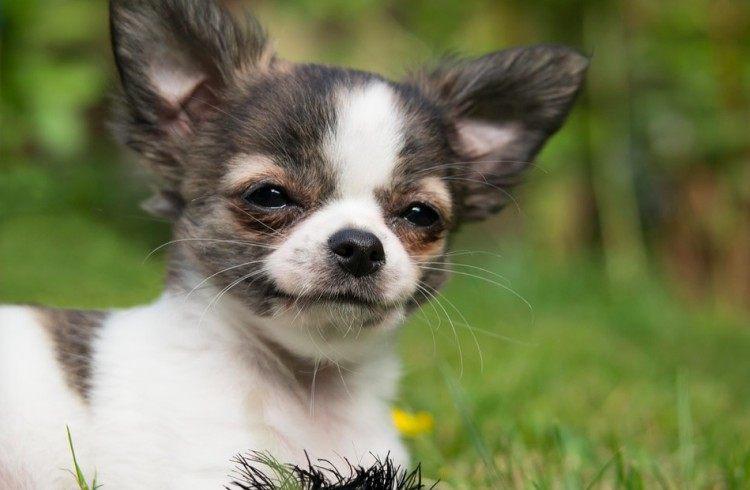 dog chihuahua