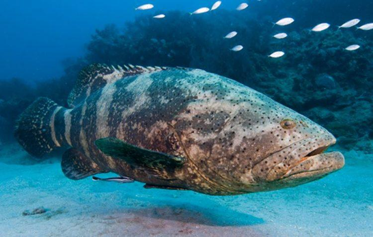 Wild Grouper in the ocean.