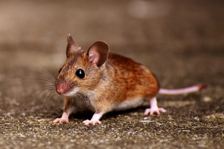 Image of mouse.
