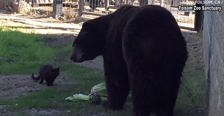Bear and cat hanging out at the zoo.