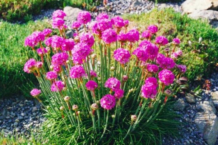 plants sea pink