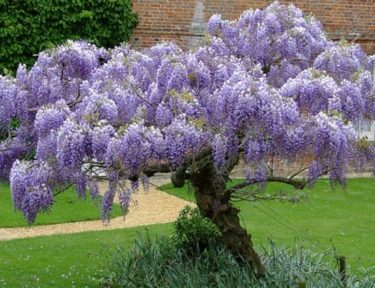 Photo of wisteria shrub.
