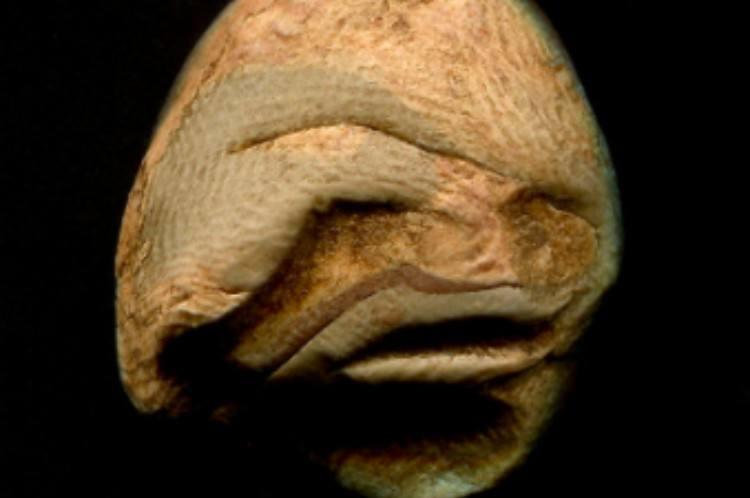 nature blobfish