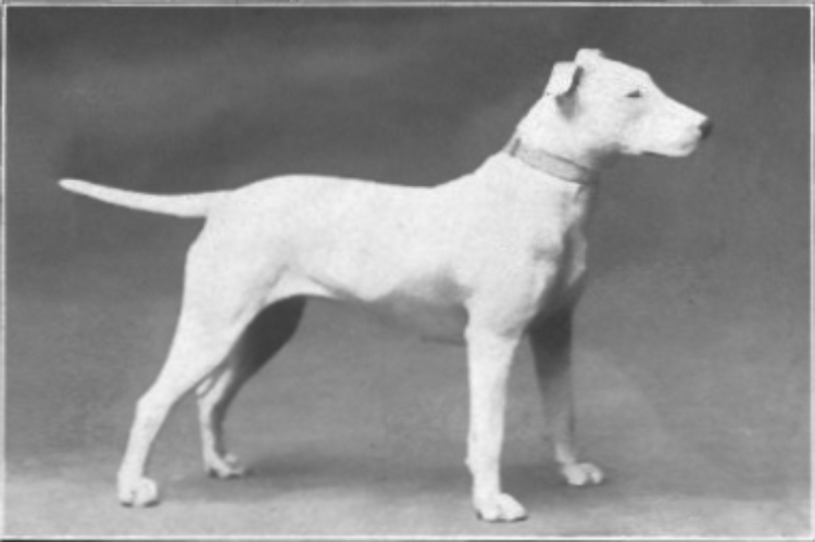 Pic of bull terrier.