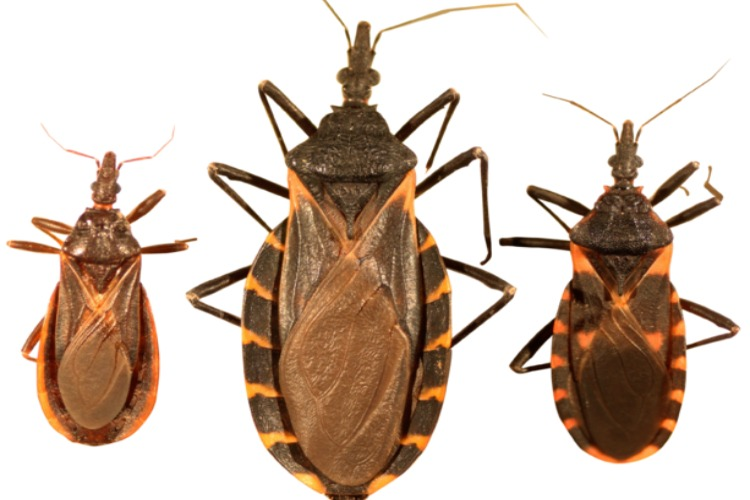 Image of kissing bugs.
