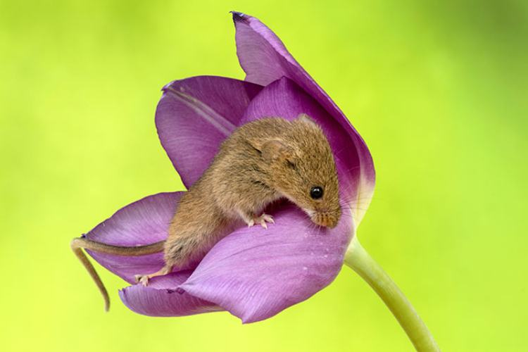 mouse in purple flower