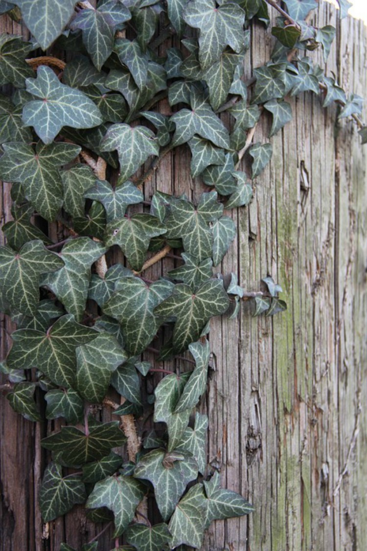 Image of English ivy