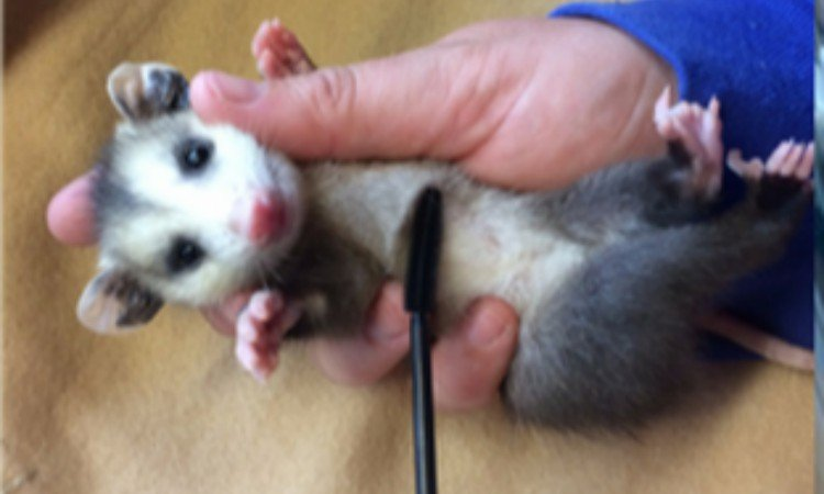 volunteer cleaning baby possum with mascara wand
