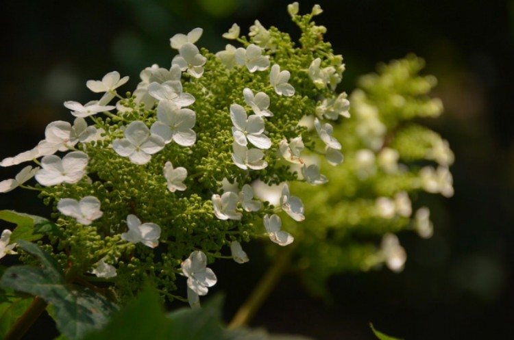 plants oakleaf hydrangea
