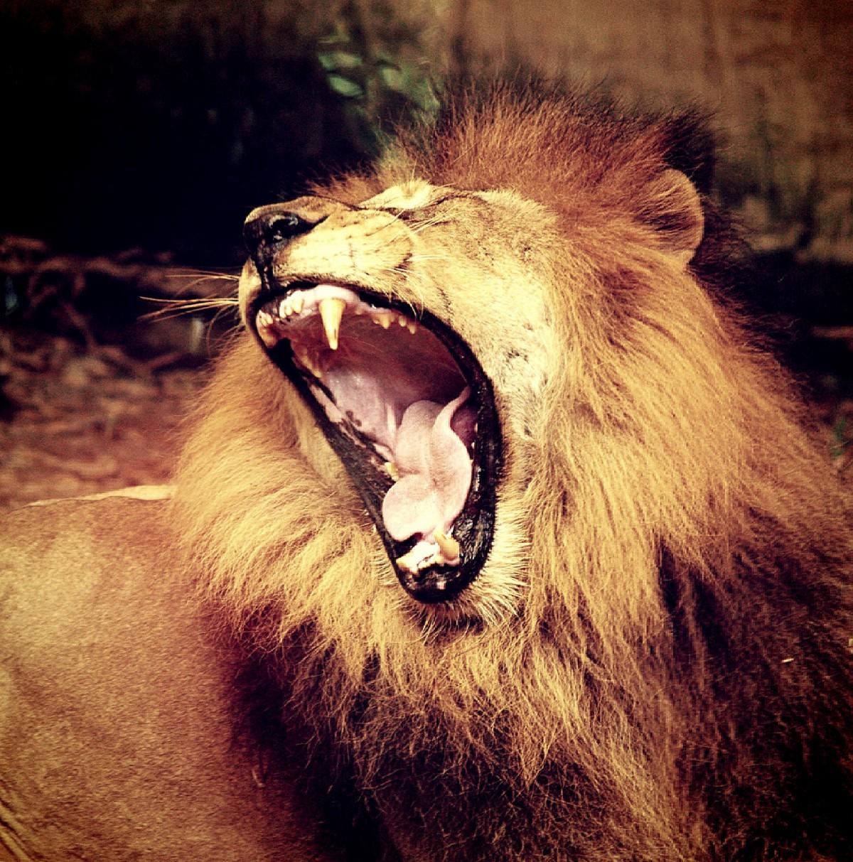 lion_pride_male_mammal_power_fur_majestic_carnivore-560888