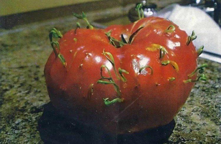 mutant tomato featured
