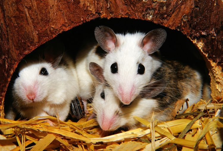 Image of mice.