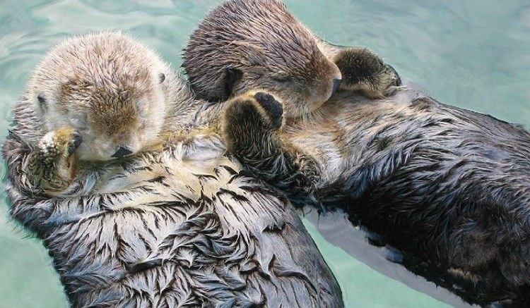 floating sea otters holding hands