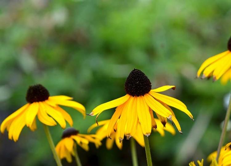 Image of black eyed susan plant
