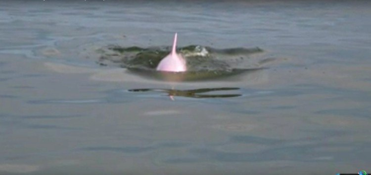 Pink dolphin swimming in lake.