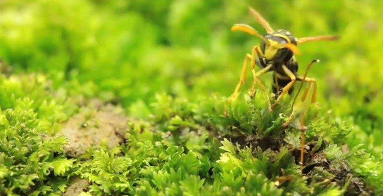 Image of hornet.