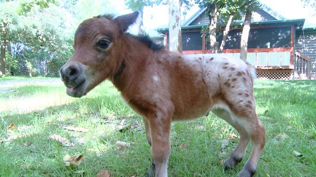 Itty Bitty Hope is the world's smallest horse