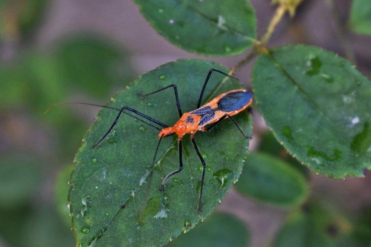 Image of milkweed assassin bug.