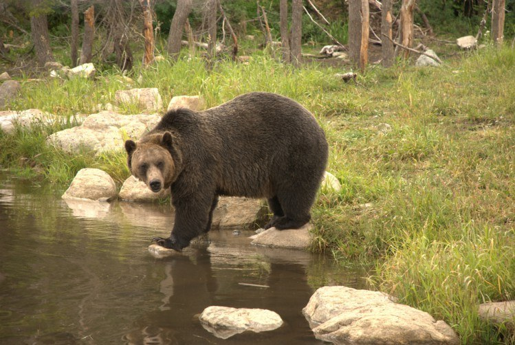 Image of grizzly by a stream.