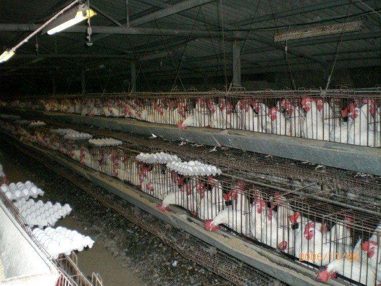 chickens in overcrowded cages
