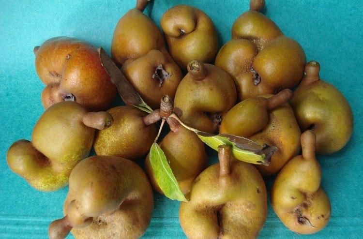 Image of deformed pears.