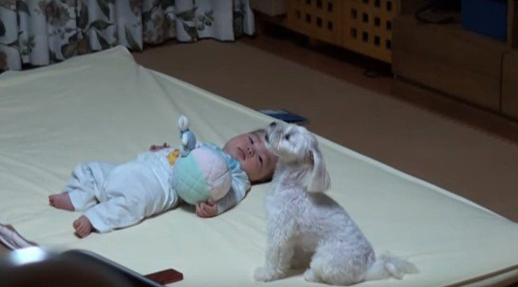 Baby stops crying at dog's howling.