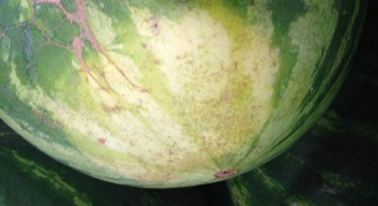 watermelonfieldspot