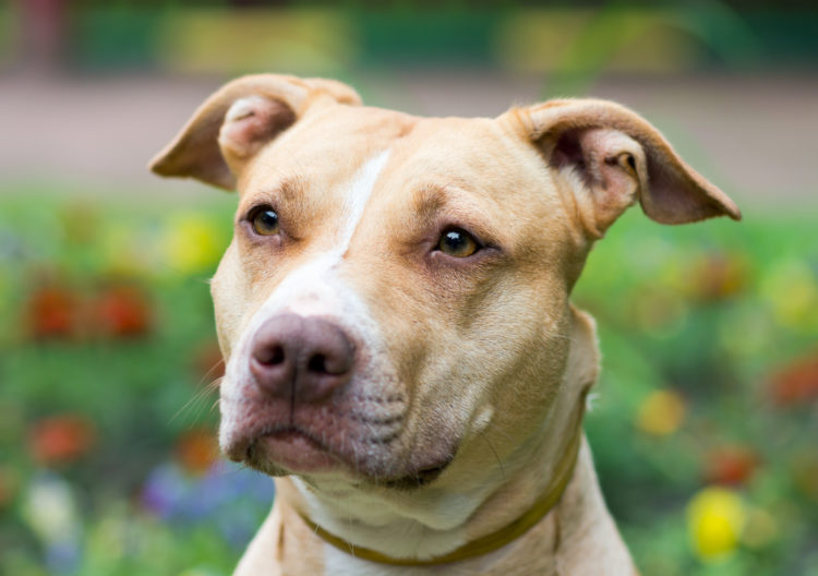 Image of Outdoor close-up American Pit Bull Terrier
