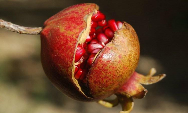 mutant pomegranate