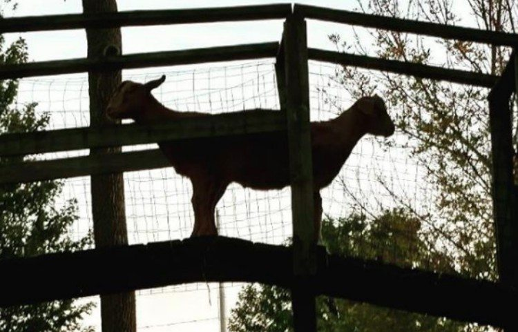 perfectly timed goats