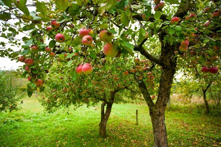 Sprinkle Borax around base of fruit tree to encourage growth