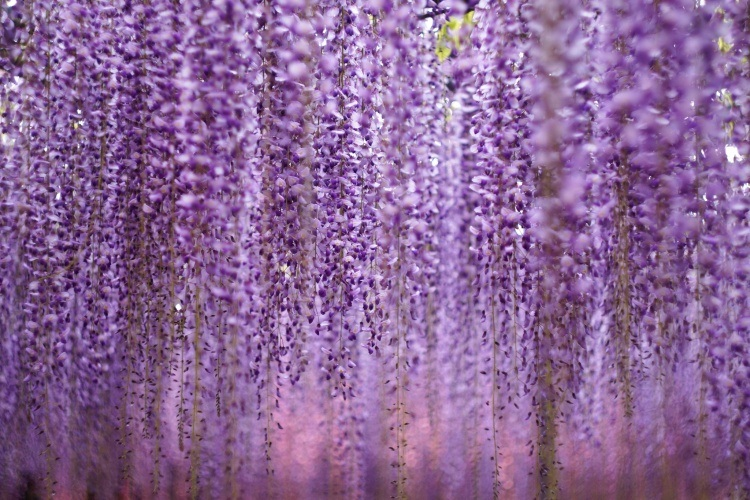 Image of Japanese wisteria.