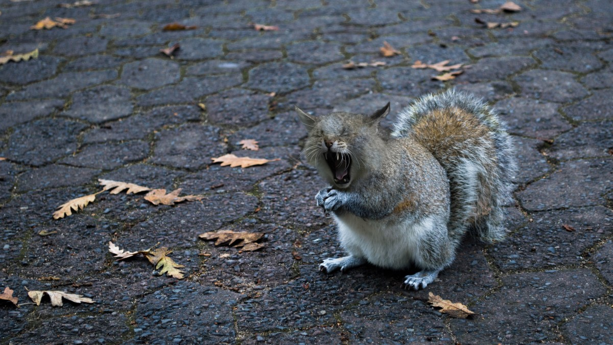 squirrel_cat_yawn_foot_open_tooth_tired_predator_cat-1163837