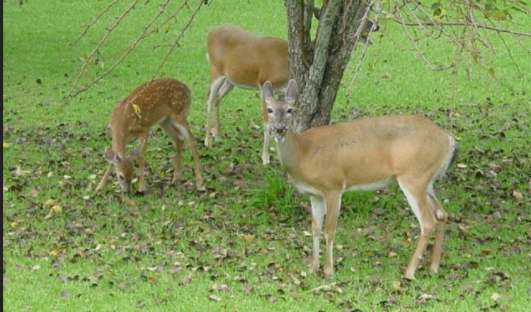 deer eating tree