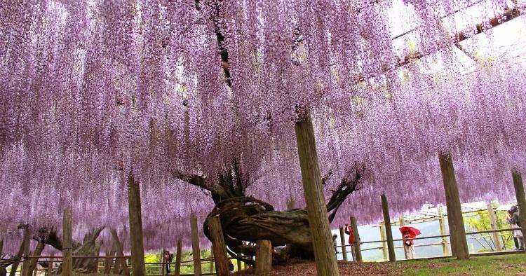 japnse wisteria