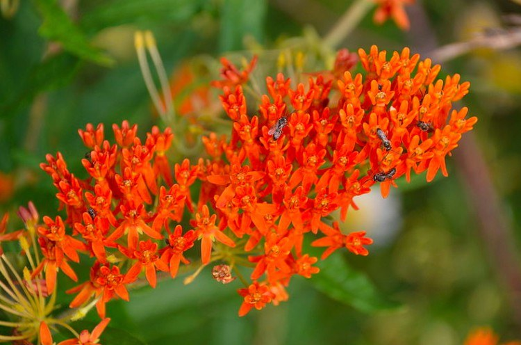 plants butterfly weed