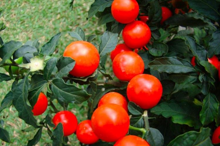 poison jerusalem cherry