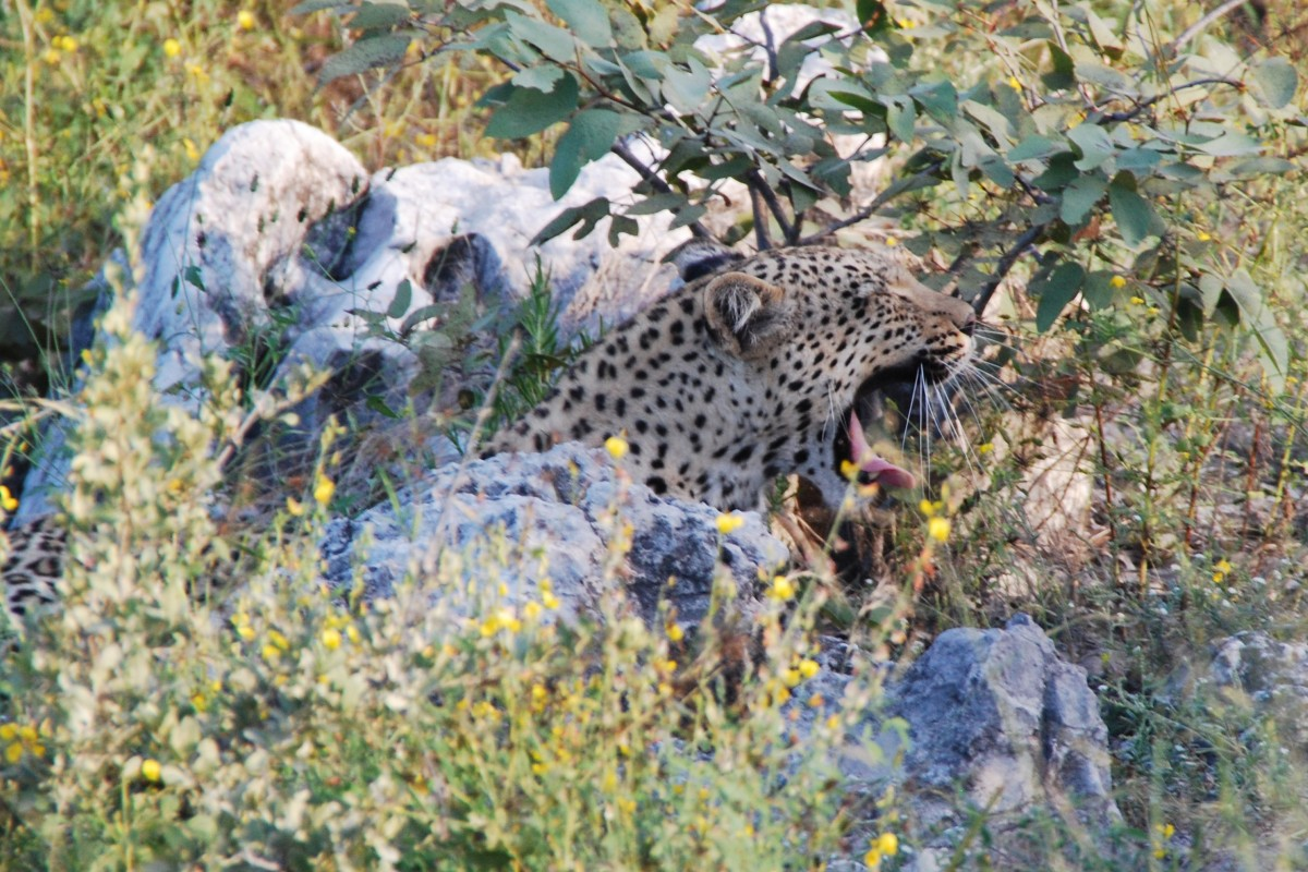 leopard_yawn_tired_wake_up_concerns_animal_africa_namibia-1143593