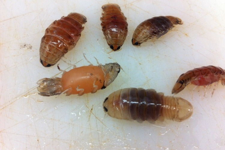 sea lice up close
